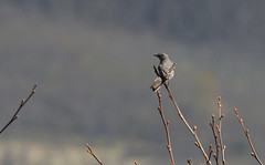 Townsend's Solitaire (artlessfun) Tags: bird washington townsendssolitaire myadestestownsendi mountsthelensnationalvolcanicmonument elkrockviewpoint artlessfun canoneosrebelt3i cowlitzcountywa 3760feetelevation img14804