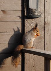 Who doesn't enjoy a meal under the sunshine?! (Zara Miravent) Tags: espoo finland spring feeder squirel