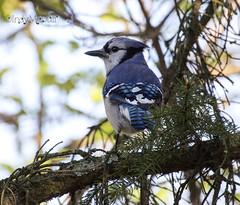 Blue Jay IMG_0142 (IndyMcDuff (Bellifemine Studios)) Tags: bird canon branch nj bluejay wanaque t5i me2youphotographylevel1