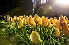 Tulips at the Boston public Garden .::LDR::. (Wolf*gang) Tags: usa boston canon massachusetts x hydepark hdr eos1d hcsm canon1dx me2youphotographylevel2 me2youphotographylevel3 me2youphotographylevel1 e2youphotographylevel1