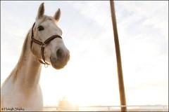 (haleighbrit) Tags: red horse sunlight white barn stretch majestic halter thoroughbred quarterhorse appendix gelding
