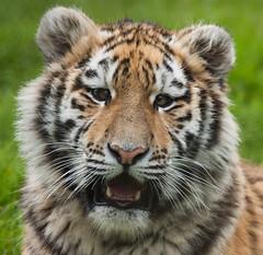 Tiger Cub 2 (TenPinPhil) Tags: flickrbigcats