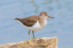 Common sandpiper (scyrene) Tags: blue brown white bird water rock stone beige commonsandpiper martonmere