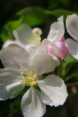 Apple blossom in full bloom (Slimdaz) Tags: pink shadow white flower tree green leaves yellow fruit pentax bokeh petal nectar delicate solihull appleblossom kx fordbridge