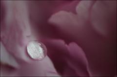 Wet Cherry Blossom. (Yvette-) Tags: pink flowers wet macromondays nikkorf28105mm nikond5100