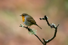 robin (ritchiecam) Tags: nature robin forest canon scotland wildlife 7d 400mm