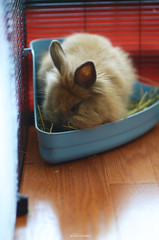 spill on aisle 4 (Jason Scheier) Tags: pets cute bunny animal hair fur furry soft fluffy reflect creatures creature lionshead lionhead rabiit