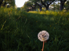 the beacon (Port View) Tags: novascotia orchard dandelion dandelions portwilliams fujix10