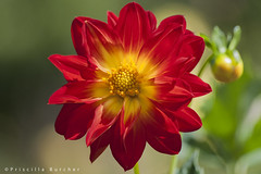 Red Dahlia (PriscillaBurcher) Tags: dahlia ngc npc redflower dalia reddahlia coth florroja awesomeblossoms dsc9800 daliaroja coth5 silveramazingdetails flowerthequietbeauty