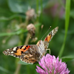 Painted Lady (eustignos) Tags: paintedlady vanessacardui distelfalter