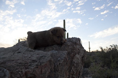 Brown Bear the Chow Puppy at 5 Weeks Old (Immature Animals) Tags: bear sunset arizona cactus sky rescue cloud baby brown southwest animal rock stone puppy furry desert tucson az marshall derek bark chow brownbear chowchow koalition