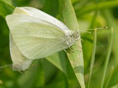 Pieris rapae (jerofont) Tags: macro sigma olympus lepidoptera papillon makro f28 pieris 150mm rapae piride