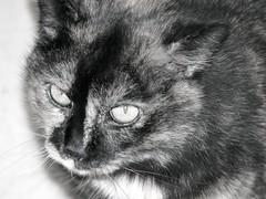 Mimi (ferdinand.wallek) Tags: portrait pet animal animals cat tiere feline chat portrt gato katze monochrom gatto animale haustiere felline monochromatico
