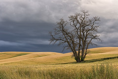 Yellow Dog Tree (NikonDigifan) Tags: storm tree wheat agriculture tamron stormclouds palouse easternwashington palousehills niksoftware viveza tamronlenses tamron7020028 mikegassphotography nikond750