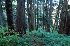 Descending Through Big Timber (Dru!) Tags: skwellepilrambling old growth cedar chehalis adam forest rambling adventure bc britishcolumbia canada subalpine skwellepilcreek unlogged bush bushwhack