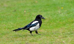 Magpie  (6) Had a hard time looking after there young (John Carson Essex) Tags: thegalaxy thegalaxystars rainbowofnature supersix