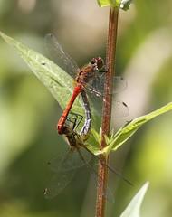 Commom Darter (Mark Walpole) Tags: common darter old moor dragonfly