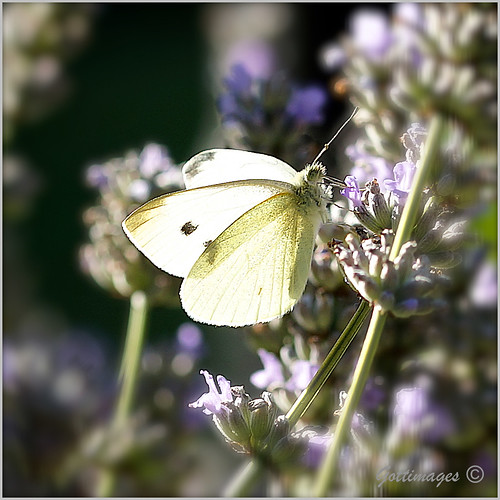 WHITE BUTTERFLY by Philip Gott (1)