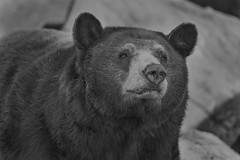 Black Bear (Cruzin Canines Photography) Tags: animal animals bear blackandwhite blackbear monochrome mammal canon canoneos5ds canon5ds 5ds eos5ds tamron tamronsp150600mmf563divcusd telephoto portrait outdoors outside nature naturallight naturepreserve wildlife wild wildanimal zoo calm californialivingmuseum califorina bakersfield kerncounty