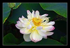 Mrs. Perry D. Slocum Lotus - Moore Water Gardens (sjb4photos) Tags: canada ontario portstanley moorewatergardens waterlily lotus mrsperrydslocumlotus lotusflower fantasticnature