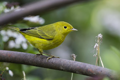Yellow Warbler (X68_6966-1) (Eric SF) Tags: yellowwarbler warbler ardenwoodhistoricfarm fremont california bird