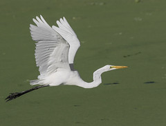 Great Egret Fly (ruthpphoto) Tags: outdoor animal egret greategret bird