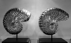 - Nautilus - (Jac Hardyy) Tags: nautilus pompilius chambered mollusc decoration dekoration decor emperor double twice twin deco silber silbern silver silvery gedreht spirale spiralig perlboot kopffsler weichtier meeresschnecke twisted spiral spirally shine shiny glnzend