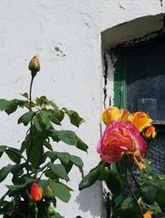 Rosen; Bergenhusen, Stapelholm (18) (Chironius) Tags: stapelholm bergenhusen schleswigholstein deutschland germany allemagne alemania germania    ogie pomie szlezwigholsztyn niemcy pomienie blte blossom flower fleur flor fiore blten    rosids fabids rosales rosenartige rosaceae rosengewchse rosoideae rosa rose rosen roses roze gl  orange