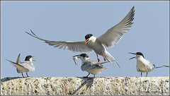 My turn (Earl Reinink) Tags: tern commontern fish earl reinink earlreinink birdphotography nikon nikond5 niagara