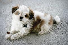 First Upload (caitlyni7) Tags: petsanimals and petsasphaltcaninecutedogdogs domesticanimals fur horizontal mixedbreeddog outdoors paw petcollar puppy shihtzu snout