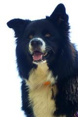 pup (wundoroo) Tags: minnewaskastatepark august summer newyork juniper dog portrait onwhite