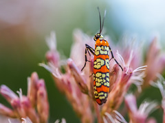 Climb Every Mountain (Shannonsong) Tags: moth lepidoptera nature joepyeweed wildlife macro orangeandyellow insect mountain summer wildflowers blossom garden pink flower bloom