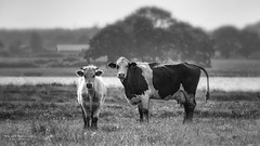 Happy Cows.jpg (Knipser31405) Tags: frhjahr schlei 2016 maasholm angeln