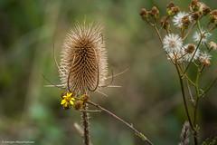 Spaziergang im Steinbruch - Farbklecks (J.Weyerhuser) Tags: steinbruchweisenau distel herbst autumn farbklecks spot