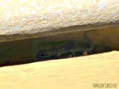 Heyden's Gecko - juvenile (tinlight7) Tags: gecko housegecko juvenile lizard reptile dubai uae taxonomy:kingdom=animalia animalia taxonomy:phylum=chordata chordata taxonomy:subphylum=vertebrata vertebrata taxonomy:class=reptilia reptilia taxonomy:order=squamata squamata taxonomy:suborder=sauria sauria taxonomy:infraorder=gekkota gekkota taxonomy:family=gekkonidae gekkonidae taxonomy:genus=hemidactylus hemidactylus taxonomy:species=robustus taxonomy:binomial=hemidactylusrobustus hemidactylusrobustus heydensgecko taxonomy:common=heydensgecko