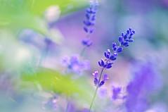 Pastel lavender (Paulina_77) Tags: