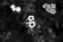 (Kals Pics) Tags: flowers bryantpark kodaikanal tamilnadu india blackandwhite mountains princess hillstation lightandlife colorless monochrome blackwhite macroworld lightandshadow kalspics
