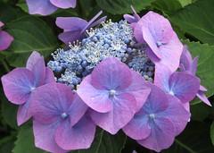 Pink Hydrangea (jackiebishop2005) Tags: pink hydrangea flower clyne gardens swansea south wales