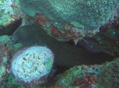 Goldentail Moray (Neil DeMaster) Tags: eel morayeel moray goldentailmoray goldentaileel nature wildlife bonaire bonairewildlife sealife oceanlife marinelife conservation scuba diving