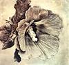 Vintage Digital Hibiscus (AngelVibeDigital) Tags: blossom art vintage nikon digitalart paintedflowers photography digitalhibiscus hibiscus nikonp900 brown