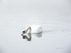 Swan (Jennifer Hsu CC) Tags: white natural