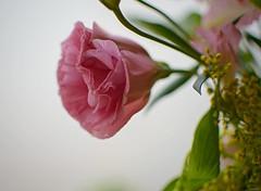 D52+1DSC_0732 (z) (A. Neto) Tags: afsnikkor35mm118g d5200 nikkor nikon nikond5200 color flowers rose stilllife