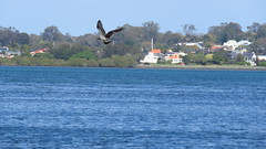 osprey, king island wellington point, mjc-2016-08-16-IMG_1954 (wiccked) Tags: birding birds wellingtonpoint kingisland
