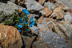 Les fleurs et les rochers... (Dolkar-photographe...) Tags: inde bouddhisme karsha paldar paysage trek zanskar t2016 pavot bleu lhimalaya pierre rochers pierres pavotbleudelhimalaya landscape valle