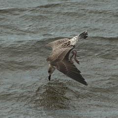 Juvenile Gull (Robert & Pamela) Tags: gull scotland wildlife birds musselburgh