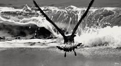 Escapada (ZAP.M) Tags: playa gaviotas orilla mar naturaleza nature plage beach zapm mpazdelcrro espaa andaluca flikcr nikon nikon5300 cadiz bolonia
