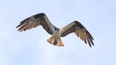 osprey (quadceratops) Tags: massachusetts nature plum island parker river national wildlife refuge osprey fishing predation carp