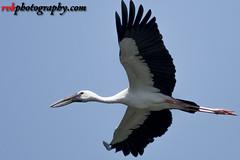 _DSC3342 (rvk82) Tags: 2016 birdsanctuary birds india nikkor200500mm nikon nikond500 october2016 photography rvk rvkphotography raghukumarphotography southindia tamilnadu vedanthangal vedanthangalbirdsanctuary wildlife rvkphotographycom in