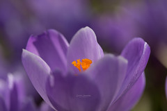 In memories of Spring (nemi1968) Tags: april2016 canon canon5dmarkiii crocus ef100mmf28lmacroisusm markiii oslo vr bokeh closeup flower flowers macro outdoor petal petals purple spring ngc