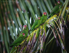 birds of a feather.... (evelyng23) Tags: exotic tropicalaudubonsociety tas audubon varietyisthespiceoflife parrot parrots parakeets conure wild noncaptive wildlife nature palm palms palmtree roost miami florida sigma 300mmf28 pentaxk3 aficionados 2015 december evelyng23 420mm 14xtc cotorras redmaskedparakeet whiteeyedparakeet greenparakeet scarletfrontedparakeet